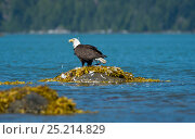 Купить «Bald eagle (Haliaeetus leucocephalus) on rock removing Mew gull's (Larus canus) feathers before feeding, Knight Inlet, Vancouver Island, British Columbia, Canada, July.», фото № 25214829, снято 22 июня 2018 г. (c) Nature Picture Library / Фотобанк Лори