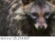 Raccoon dog (Nyctereutes procyonoides) portrait, captive, occurs in East Asia. Стоковое фото, фотограф Edwin Giesbers / Nature Picture Library / Фотобанк Лори