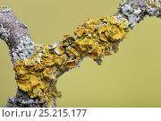 Купить «Common orange lichen (Xanthoria parietina) on Hawthorn twig (Crataegus monogyna) together with a Shield lichen (Parmelia sulcata) England, UK. April.», фото № 25215177, снято 21 августа 2018 г. (c) Nature Picture Library / Фотобанк Лори