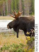 Купить «Moose (Alces americanus) male standing in lake in the rain, Estes Park, Colorado, Rocky Mountains, USA. September.», фото № 25215381, снято 23 июля 2018 г. (c) Nature Picture Library / Фотобанк Лори