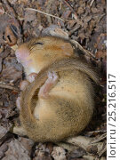 Torpid Common / Hazel dormouse (Muscardinus avellanarius) found sleeping in a Dormouse nestbox set out by Backwell Enviroment Trust in coppiced woodland near Bristol, Somerset, UK, June. Стоковое фото, фотограф Nick Upton / Nature Picture Library / Фотобанк Лори