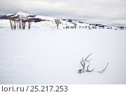 Elk skull with antlers in snow, Lamar Valley, Yellowstone National Park, Wyoming, USA, February 2013. Стоковое фото, фотограф Kirkendall-Spring Photographers / Nature Picture Library / Фотобанк Лори