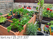 Купить «Square foot garden, with flowers, herbs and vegetables in wooden box on balcony, Belgium. May 2013.», фото № 25217337, снято 25 апреля 2018 г. (c) Nature Picture Library / Фотобанк Лори