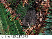 Okarito Brown Kiwi (Apteryx rowi)  3 week chick foraging alone in fern litter, from population of 200. Okarito Forest, Westland, South Island, New Zealand. Стоковое фото, фотограф Tui De Roy / Nature Picture Library / Фотобанк Лори