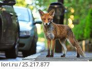 Купить «Red Fox (Vulpes vulpes) portrait in an urban area. Glasgow, Scotland. May.», фото № 25217877, снято 21 ноября 2019 г. (c) Nature Picture Library / Фотобанк Лори