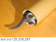 Купить «Kitten playing with cardboard roll, with only tail visible. Germany», фото № 25218297, снято 27 апреля 2018 г. (c) Nature Picture Library / Фотобанк Лори