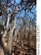 Купить «Octopus trees (Didierea trolli) in Thorny forest, Didiereaceae, Didierea trollii, Berenty Reserve, South Madagascar, Africa», фото № 25218977, снято 20 июля 2018 г. (c) Nature Picture Library / Фотобанк Лори