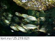 Купить «Piraputanga (Brycon hilarii) in the main spring Aqua¡rio Natural that goes in the Rio Baia Bonita, Bonito, Mato Grosso do Sul, Brazil», фото № 25219021, снято 26 апреля 2019 г. (c) Nature Picture Library / Фотобанк Лори