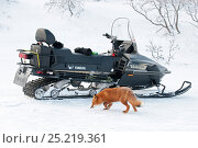 Купить «Red fox (Vulpes vulpes) investigating snow mobile,  Kamchatka, Far East Russia, January 2008.», фото № 25219361, снято 17 октября 2019 г. (c) Nature Picture Library / Фотобанк Лори