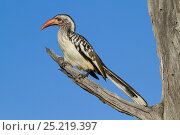 Купить «Red-billed hornbill (Tockus erythrorhynchus) profile, Moremi Game Reserve, Botswana,», фото № 25219397, снято 12 июля 2020 г. (c) Nature Picture Library / Фотобанк Лори