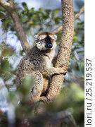 Купить «Rufous Brown Lemur (Eulemur rufus) male climbing tree,  Andasibe Mantadia National Park, Madagascar, Africa», фото № 25219537, снято 22 сентября 2018 г. (c) Nature Picture Library / Фотобанк Лори