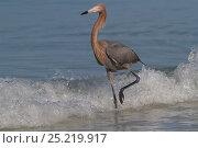 Купить «Reddish Egret (Egretta rufescens) hunting small marine fish at surf's edge, Tampa Bay, Pinellas County, Florida, USA», фото № 25219917, снято 21 февраля 2019 г. (c) Nature Picture Library / Фотобанк Лори