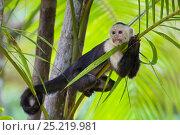 Купить «White-faced Capuchin (Cebus capucinus imitator) resting in palm tree.Osa Peninsula, Costa Rica», фото № 25219981, снято 21 сентября 2019 г. (c) Nature Picture Library / Фотобанк Лори