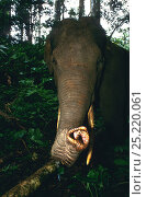 Купить «Sumatran elephant (Elephas maximus sumatranus) portrait, Sumatra. Critically endangered», фото № 25220061, снято 19 июня 2019 г. (c) Nature Picture Library / Фотобанк Лори
