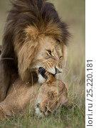 Купить «Lions (Panthera leo) mating, Masai-Mara Game Reserve, Kenya», фото № 25220181, снято 16 августа 2018 г. (c) Nature Picture Library / Фотобанк Лори
