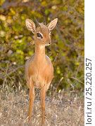 Damara Dik-dik (Madoqua kirki), Etosha National Park, Namibia. Редакционное фото, фотограф Dave Watts / Nature Picture Library / Фотобанк Лори