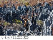 Купить «Rock formation with vegetaition in the Tsingy-de-Bemaraha National Park, Mahajanga, Madagascar, Africa», фото № 25220325, снято 18 июня 2019 г. (c) Nature Picture Library / Фотобанк Лори