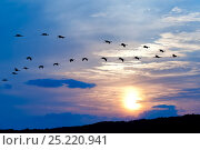 Купить «Flock of Hooded Cranes (Grus monacha) in flight at sunrise, Kyushu, Japan», фото № 25220941, снято 16 июля 2019 г. (c) Nature Picture Library / Фотобанк Лори