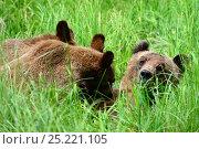Купить «Female Grizzly bear nursing her two cubs (Ursus arctos horribilis) Khutzeymateen Grizzly Bear Sanctuary, British Columbia, Canada, June.», фото № 25221105, снято 26 мая 2019 г. (c) Nature Picture Library / Фотобанк Лори