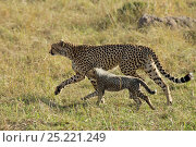 Купить «RF- Cheetah (Acinonyx jubatus) mother and young, Maasai Mara, Kenya, Africa. (This image may be licensed either as rights managed or royalty free.)», фото № 25221249, снято 13 октября 2019 г. (c) Nature Picture Library / Фотобанк Лори