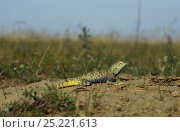 Купить «Strauch's racerunner (Eremias strauchi), Badkhyz Reserve, Turkmenistan», фото № 25221613, снято 17 июня 2019 г. (c) Nature Picture Library / Фотобанк Лори