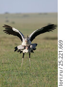 Secretary birds (Sagittarius serpentarius) mating, Masai-Mara Game Reserve, Kenya. Стоковое фото, фотограф Denis-Huot / Nature Picture Library / Фотобанк Лори