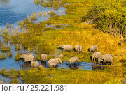 Купить «RF- Elephant (Loxodonta Africana) herd in wetlands, aerial view, Okavango delta, Botswana (This image may be licensed either as rights managed or royalty free.)», фото № 25221981, снято 22 апреля 2020 г. (c) Nature Picture Library / Фотобанк Лори