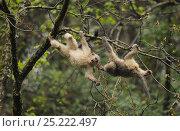 Купить «Yunnan Snub-nosed monkey (Rhinopithecus bieti) young ones interacting, Ta Chen NP, Yunnan province, China», фото № 25222497, снято 22 января 2019 г. (c) Nature Picture Library / Фотобанк Лори