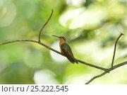 Купить «Hook-billed Hermit Hummingbird (Glaucis dohrnii) perched on branch, lowland Atlantic Southern Bahia Rainforest, at Estacao Veracel Natural Private Heritage...», фото № 25222545, снято 14 июля 2020 г. (c) Nature Picture Library / Фотобанк Лори