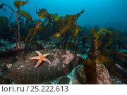 Купить «Starfish (Asterias rubens) below kelp in the typical scenery in Thorshofn Bay, north Iceland. North Atlantic Ocean.», фото № 25222613, снято 23 июня 2018 г. (c) Nature Picture Library / Фотобанк Лори