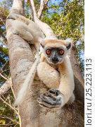 Купить «Golden-crowned Sifaka or Tattersall's Sifaka (Propithecus tattersalli) climbing down tree in forests near Andranotsimaty, Daraina, north east Madagascar. Critically Endangered.», фото № 25223113, снято 17 июня 2019 г. (c) Nature Picture Library / Фотобанк Лори