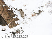Купить «Snow Leopard (Uncia uncia) walking down snow covered slope, Hemas National Park, Ladakh, India», фото № 25223209, снято 14 ноября 2019 г. (c) Nature Picture Library / Фотобанк Лори