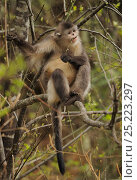 Купить «Yunnan Snub-nosed monkey (Rhinopithecus bieti) feeding, Ta Chen NP, Yunnan province, China», фото № 25223297, снято 15 февраля 2019 г. (c) Nature Picture Library / Фотобанк Лори