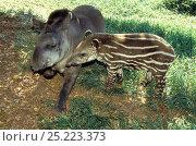 Купить «Brazilian Tapir (Tapirus terrestris) mother and baby, Emas National Park, Goias State, Cerrado region, Central Brazil. Vulnerable species.», фото № 25223373, снято 10 июля 2020 г. (c) Nature Picture Library / Фотобанк Лори