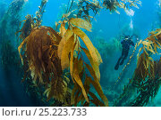 Купить «A diver photographs in a giant kelp forest (Macrocystis pyrifera). Fortescue Bay, Tasmania, Australia. Tasman Sea. This is the same species of giant kelp...», фото № 25223733, снято 18 сентября 2018 г. (c) Nature Picture Library / Фотобанк Лори
