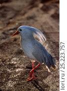 Купить «Kagu (Rhynochetos jubatus) New Caledonia, endemic and endangered», фото № 25223757, снято 20 июля 2019 г. (c) Nature Picture Library / Фотобанк Лори