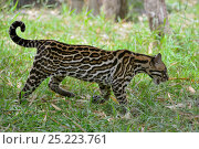 Купить «Ocelot (Leopardus pardalis) profile, French Guiana, captive», фото № 25223761, снято 19 июля 2019 г. (c) Nature Picture Library / Фотобанк Лори