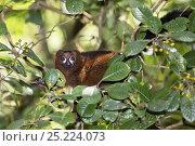 Купить «Red-bellied Lemur (Eulemur rubriventer) Ranomafana National Park, Madagascar, Africa», фото № 25224073, снято 22 сентября 2018 г. (c) Nature Picture Library / Фотобанк Лори