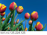 Купить «Variegated tulips (Tulipa sp) in flower, cultivated in field. Swaffham, Norfolk, May», фото № 25224125, снято 21 августа 2018 г. (c) Nature Picture Library / Фотобанк Лори