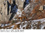 Купить «Amur / Siberian Tiger (Panthera tigris altaica) female in the wild, on a hillside, Lazovskiy zapovednik / Lazo Reserve protected area, Primorskiy krai, Far Eastern Russia, February 2012», фото № 25224581, снято 18 августа 2018 г. (c) Nature Picture Library / Фотобанк Лори