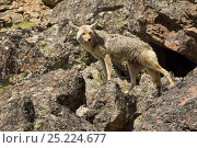 Купить «Coyote (Canis latrans) female standing on boulders, Yellowstone National Park, Wyoming, USA. June.», фото № 25224677, снято 24 февраля 2019 г. (c) Nature Picture Library / Фотобанк Лори