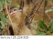 Купить «Yunnan Snub-nosed monkey (Rhinopithecus bieti) Ta Chen NP, Yunnan province, China», фото № 25224925, снято 22 января 2019 г. (c) Nature Picture Library / Фотобанк Лори