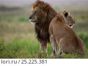 Купить «Lion (Panthera leo) male and lioness standing together. Masai Mara National Reserve, Kenya, July», фото № 25225381, снято 19 июля 2018 г. (c) Nature Picture Library / Фотобанк Лори