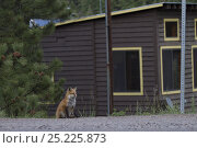 Купить «Red Fox (Vulpes vulpes) sitting by the road next to a house, Denver, Colorado, USA, May.», фото № 25225873, снято 21 ноября 2019 г. (c) Nature Picture Library / Фотобанк Лори