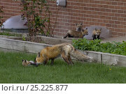 Купить «Red fox (Vulpes vulpes) and cubs emerging from their den near a house, Denver, Colorado, USA, April.», фото № 25225877, снято 21 ноября 2019 г. (c) Nature Picture Library / Фотобанк Лори