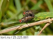 Купить «Flesh-flies mating (Sarcophaga sp) Lewisham, London, September», фото № 25225881, снято 19 октября 2019 г. (c) Nature Picture Library / Фотобанк Лори