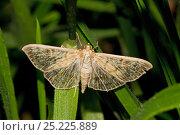 Купить «Mother-of-Pearl Moth (Pleuroptya ruralis) Lewisham, London, September», фото № 25225889, снято 24 мая 2018 г. (c) Nature Picture Library / Фотобанк Лори