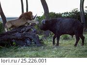 Купить «Male lion (Panthera leo) in confrontation with Cape buffalo (Syncerus caffer). Masai Mara National Reserve, Kenya, July», фото № 25226001, снято 17 августа 2018 г. (c) Nature Picture Library / Фотобанк Лори