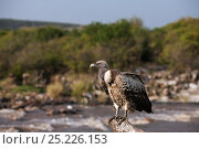 White-backed vulture (Gyps africanus).  perched on a dead tree overlooking the Mara River. Masai Mara National Reserve, Kenya, July. Стоковое фото, фотограф Anup Shah / Nature Picture Library / Фотобанк Лори