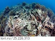 Купить «Dynamite blasted reef, near Taglibas, Danajon Bank, Central Visayas, Philippines, April 2013», фото № 25226313, снято 17 июня 2019 г. (c) Nature Picture Library / Фотобанк Лори